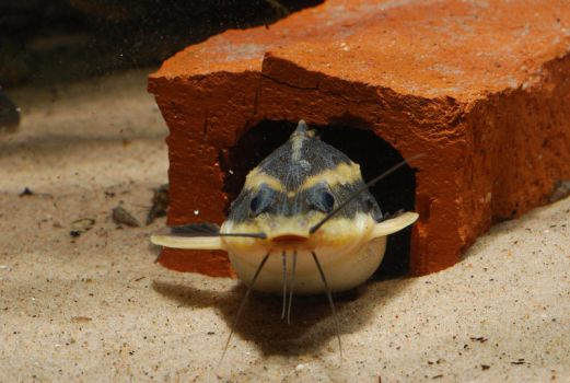 Cute Catfish by Gobius