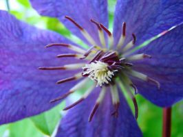Clematis by GramMoo