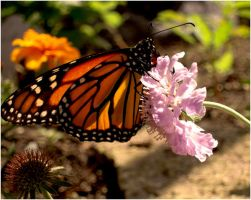 Monarch Butterfly by Sugargrl14