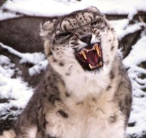 Snow Leopard Stock 33 by HOTNStock