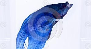 BLUE SIAMESE FIGHTING FISH by SaajidAkram