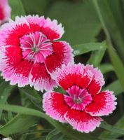 Bright Dianthus II by Rjet33