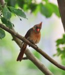 Just a Female Cardinal by Tailgun2009