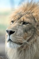 African Lion.8. by HecklingHyena