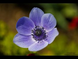 Purple Anemone by GMCPhotographics