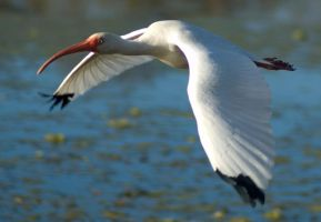 White Ibis Flight 2 by SalsolaStock