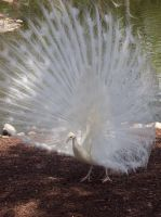Albino Peacock by sweetangelookami