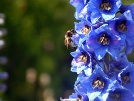 Bee and blue. by Glouupe