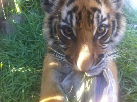 Kevin the baby Tiger by Kaikoura