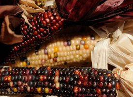 colorful corn by kayaksailor