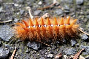 Raupe der Ahorn-Rindeneule (Acronicta aceris) by bluesgrass