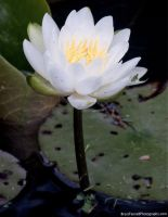 water lily by BrentFennellPhoto