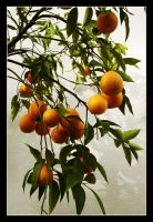 Orange Tree by makhor