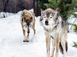 Gray Wolf Pack I by OrangeRoom