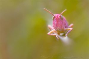 The Pink Grasshopper by thrumyeye