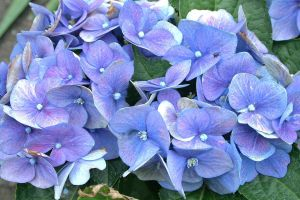 hydrangea today in my garden by ingeline-art