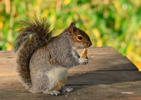 Grey Squirrel #2 by EHilsdonPhotography