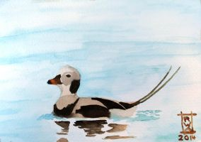 Long-tailed Duck by raven-amos
