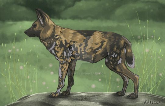 African wild dog by Kris-Goat
