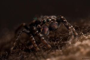 jumping spider 11 by Prototyps