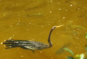 Anhinga in the Water by CobaltBrony