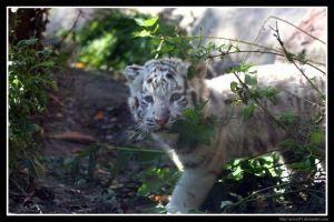 White Tiger Cub by Arwen91