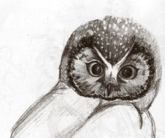 a sketch of an Owl by FireDestined4