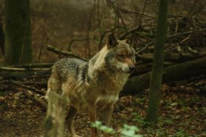 Balkan wolf by whitewolffighter