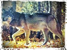 Wolf Picture edited by kingking321