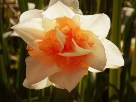 Daffodil 5 by MunsenTheBiscuit69