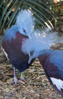 Blue crowned pigeons by MaresaSinclair
