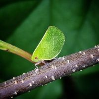 Green leafhopper by MrsUnderground