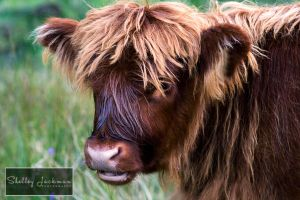 Highland Calf by ShelleyJackman