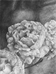 roses b/w by DariaGALLERY
