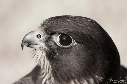 Falcon looking up by xPoire