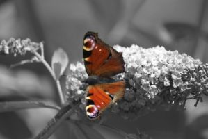 Peacock Butterfly by tcm-photography