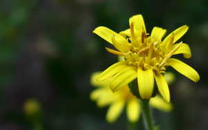 Yellow Flower Wide by biffexploder