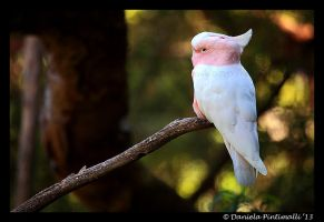 Major Mitchells Cockatoo III by TVD-Photography