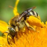 The Bee by Alexandru-MM