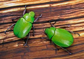 Beyer's Scarab Beetles by FauxHead