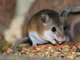 pigmy mouse by szorny-stock