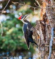 pileated woodpecker October 12 2014 by sgt-slaughter