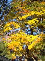 Golden Leaves by Geak-of-Nature