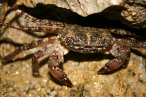 Crab in the rock by Coffee-L