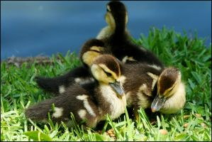 Duckling Siblings by RoxMad