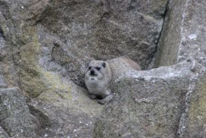 Rock Hyrax by tammyins
