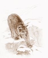 Canadian lynx by Kahless28