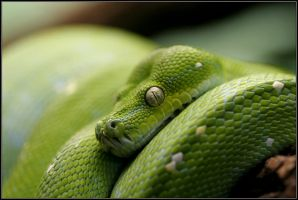 Green Tree Python by teabird