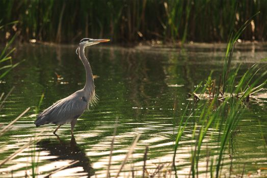 Morning Heron by Kintarotpc