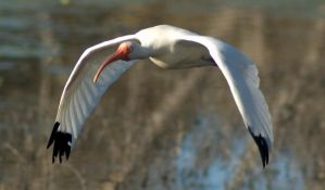 White Ibis Flight 1 by SalsolaStock